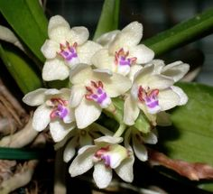 Rarest Orchid | Details about Rare orchid species (Blooming) - Tuberolabium kotoense