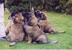 Leonberger puppies - I think I might want one?