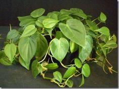 One of my favorite house plants: Satin Pothos, Silk Pothos ...