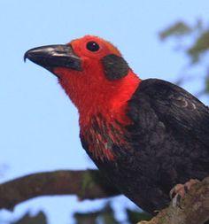 Bornean Bristlehead | One of the most distinctive birds of Borneo is the odd Bornean ...