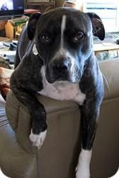 Zeus - wonderful boy! is an adoptable Pit Bull Terrier Dog in Ritzville, WA. Contact: connellpetrescue@gmail.com ZEUS IS LOCATED IN RITZVILLE, WA. Zeus is a handsome American Pit Bull Terrier. He is f...