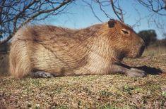 Carpincho fauna de Corrientes, Argentina