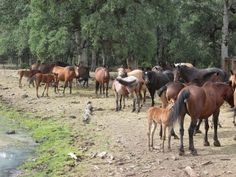Visit the wild horses at Wild Horse Sanctuary, in Shingletown, California. It's an amazing experience to spend the night with wild mustangs.