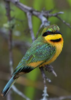 Little Bee-eater | Kruger National Park on the S131 | Frik Erasmus | Flickr