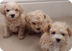 Lakewood, CA - Maltese/Poodle (Toy or Tea Cup) Mix. Meet Willow's Girls, a puppy for adoption. http://www.adoptapet.com/pet/14079376-lakewood-california-maltese-mix