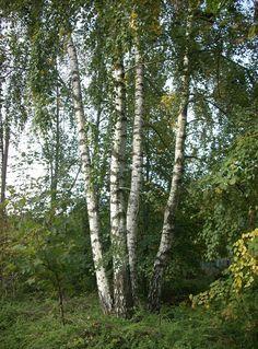 Scientific Name: Betula pendula Common Name: European White Birch Zone: Height: ft. Tree House Wallpaper, Betula Pendula, White Birch Trees, Juniper Bonsai, Indoor Bonsai, Big Leaves, Aspen Trees, Autumn Scenery, Printmaking