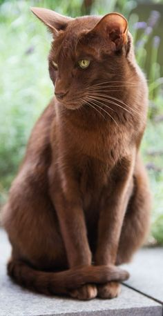 The Havana Brown cat is a medium sized, lean and muscular cat with a short shiny chocolate brown coat. They have a dog-like personality and are very friendly and out-going.