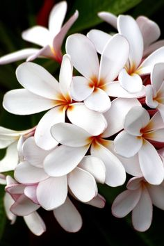 plumeria (AKA frangipani). I can smell them from here. In Hawaii I had pink, white and yellow ones Plumeria Flowers, Tropical Flowers, White Flowers, Exotic Flowers, Amazing Flowers, Beautiful Flowers, Hawaiian Flowers, Summer Flowers, Agaves
