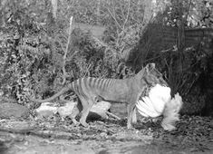 This 1921 photo by Henry Burrell of a thylacine with a chicken was widely distributed and may have helped secure the animal's reputation as a poultry thief. In fact the image is cropped to hide the fenced run and housing, and analysis by one researcher has concluded that this thylacine is a mounted specimen, posed for the camera.[59]