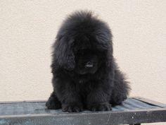 ~ Newfoundland Puppy ~