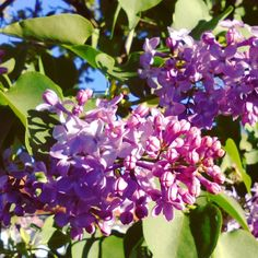Lilas.  #flowers #flores #flor #flower #primavera #spring #naturelovers #natural #naturephotography #naturalbeauty #naturaleza #nature #naturaleza_spain #photography #photoshoot #photooftheday #photoshooting #naturelover_gr #igers #igerssalamanca #igersespaña #instagram #instagramers #Salamanca #communitymanager #CastillayLeon #marketingdigital #digitalmarketing #marketing