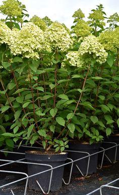 vipphortensia 39 limelight 39 plants indoor garden. Black Bedroom Furniture Sets. Home Design Ideas