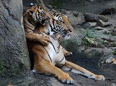 Tiger cub lookymamashp - Kathy Newton Flickr.