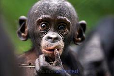 Bonobo baby aged 9-12 months portrait Bonobo baby aged 9-12 months portrait (Pan paniscus), Lola Ya Bonobo Sanctuary, Democratic Republic of Congo.