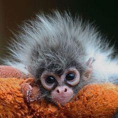 Macaco bébé