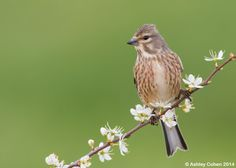 Linnet - Unexpected Discovery by Ashley Cohen on 500px