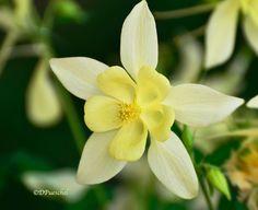 Ivory Yellow Columbine by Debby Pueschel