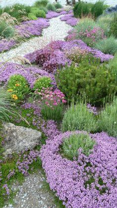 Thymus vulgaris, Pinus mugo, Armeria maritima, Lavandula angustifolia