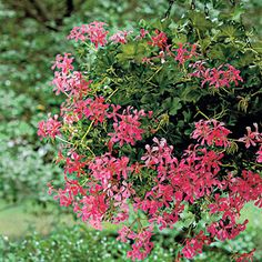 Cascading Geraniums | Spectacular Container Gardening Ideas - Southern Living