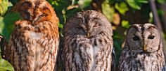 Beautiful owls Pinned by www.myowlbarn.com