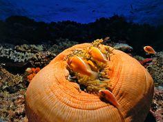 pez-payaso-en-gran-anemona