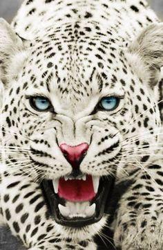 Snow Leopard Nature, Animals, Wildlife: The Beauty at one place Nature Animals, Animals And Pets, Cute Animals, Baby Animals, Animals Planet, Beautiful Cats, Animals Beautiful, Animals Amazing, Animal Kingdom