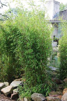 Fargesia Obelisk als Einzelpflanze Clematis Ideas, Fargesia, Pet Water Fountain, Spring Plants, Aquarium, Pets, Outdoor, David, Garden