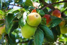 Six-In-One Apple - Monrovia - Six-In-One Apple Malus domestica ('Honeycrisp, Summerred, Braeburn, Macintosh, Criterion, Fuji', grafted)