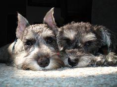 #schnauzer #dogs