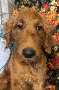 Adopt Zena On Northwales Golden Retriever Poodle Mix Dogs Golden Retriever Golden Retriever Baby