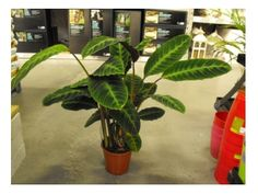 calathea plant care