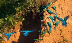 Tambopata Macaw Clay Lick | Amazon Wildlife Peru Travel