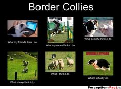 Border Collies... - What people think I do, what I really do - Perception Vs Fact