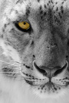 Himalayan Eye. - Snow Leopards. Beautiful, amazing animals. Lets hope we understand and appreciate them before we destroy them.