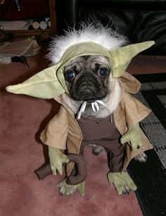 Yoda Pug-I didnt take this and it is not my dog, but this is amazing! hahaha