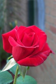 The National flower of Czech Republic is the elegant Rose.It is also the national flower of Britain, Luxembourg, United states and Slovakia. Beautiful Rose Flowers, Amazing Flowers, Red Flowers, Red Roses, Beautiful Flowers, Ronsard Rose, Rose Flower Wallpaper, Rose Pictures, Flowers Perennials