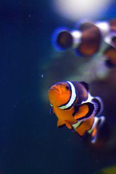 *Clown fish (by landiza)