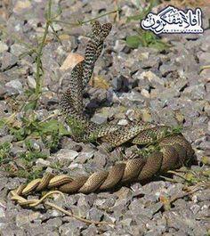 Snakes' Love