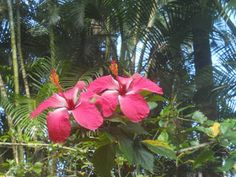 Pink Hibiscus Pair  kauai-artist.blogspot.com/2015/06/happy-aloha-friday_26.html