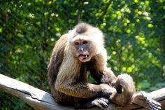 Animales, chango, mono, capuchino, zoologico, pelo, Animals, monkey, monkey…