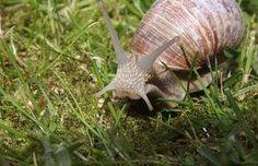 Lutter contre les escargots, voici 10 trucs pour faire fuir les escargots du jardin.