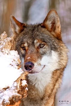 Wolf in Winter by Johannes Eder / Wolf Photos, Wolf Pictures, Wolf Spirit, Spirit Animal, Beautiful Creatures, Animals Beautiful, Wolf World, Wolf Husky, Amor Animal