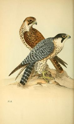 Coloured illustrations of British birds, and th...