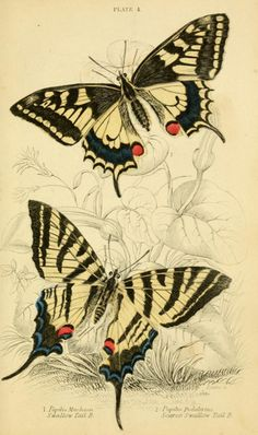 Swallow-Tail Butterfly  British Butterflies, 1855.
