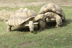 Tortoises Eskimo kissing!