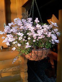 """Mein Rosè Moment: Eine Blumen namens """"Elfenspiegel"""" welche sich in unserem Garten befindet."""