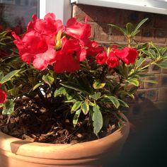 rhododendron from Astbury Garden, Plants, Garten, Gardens, Planters, Tuin, Plant, Planting, Yard