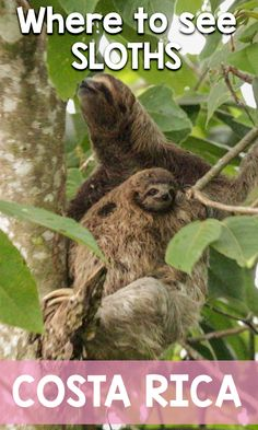 Where to see sloths in Costa Rica, find out the best places and what types of sloths to see: http://mytanfeet.com/costa-rica-wildlife-and-nature/where-to-see-sloths-in-costa-rica-wildlife-nature/