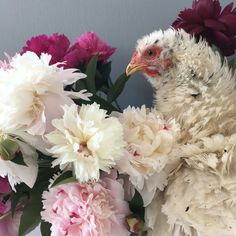 """Delphia's portrait of their Frizzled Paint Standard Cochin: """"I thought she looked like a peony, so I put her next to a bunch for comparison."""""""