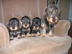 Wirehaired Dachshunds